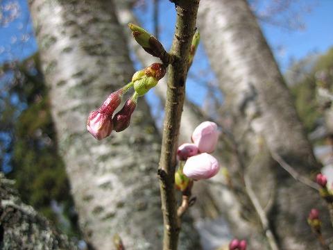 日本第一熊野神社 桜模様。